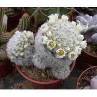 Mammillaria carmenae 9cm pot