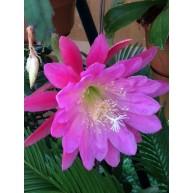 Epiphyllum Apple Blossom