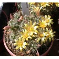 Dolichothele surculosa 7cm pots