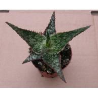 Aloe Franco