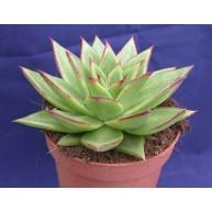 Succulent in 9cm pot