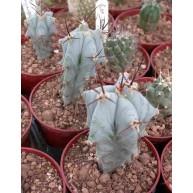Echinocactus platyacanthus 6cm pots