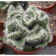Opuntia cylindrica f. major cristata