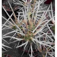 Tephrocactus articulatus v.papyracanthus