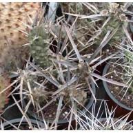 Tephrocactus articulatus v.oligacanthus
