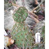 Opuntia cymochila Knox Co.