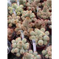 Mammillaria elongata 9cm pots