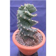 Cereus jamacaru f. spiralis