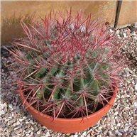 Ferocactus pilosus 23cm bowl