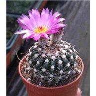 Notocactus uebelmannianus 9cm pots