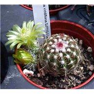 Echinocereus viridiflorus DJF713.1 Larimer Co. CO.