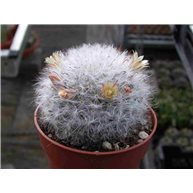Mammillaria bocasana splendens