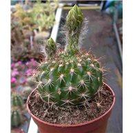 Echinopsis kermesina