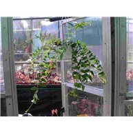 Hoya bella in hanging pot