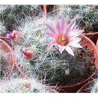 Mammillaria glassii v. ascenscionis 5cm pots