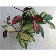 Hoya carnosa tricolor 9cm pot