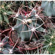 Ferocactus emoryi 9cm pots