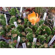 Opuntia bispinosa 7cm pots