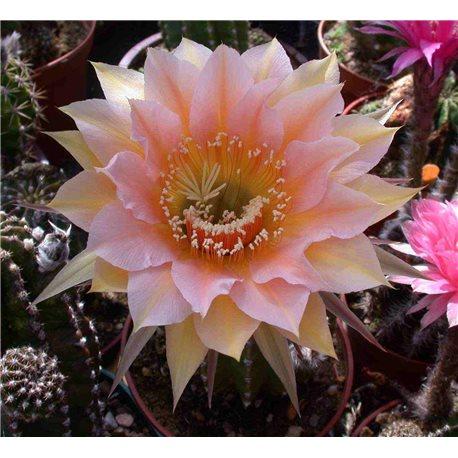 Echinopsis Peach Parfait