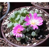 Frithia pulchra Baby Toes