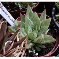 Haworthia retusa White Ghost
