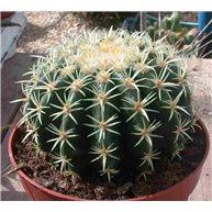 Echinocactus grusonii f. inermis 13cm pot