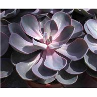 Echeveria Purple Pearl 13cm pot