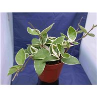 Hoya carnosa Krimson Queen 13cm