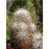 Mammillaria bombycina f. colionis