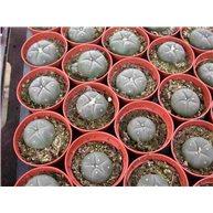 Lophophora williamsii 5cm pots