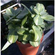 Crassula multicava variegata 12cm clay pot