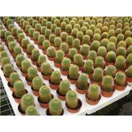 Notocactus leninghausii 5cm pot