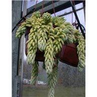 Sedum morganianum Hanging pot