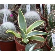Agave americana variegata 9cm pot