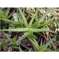 Aloe morijensis