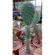 Opuntia tuna Red 17cm pot Single