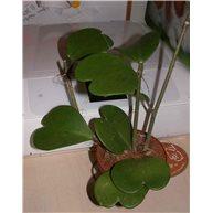 Hoya kerryi 12cm pot