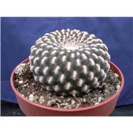 Sulcorebutia arenacea 8.5cm pot