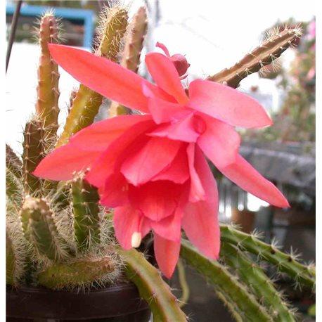 X Aporophyllum Nicola