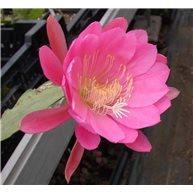 Epiphyllum Eastern Trance