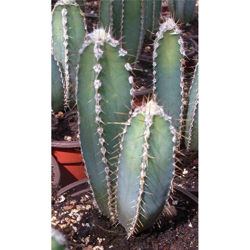cereus forbesii cactus shop