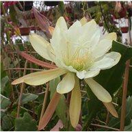Epiphyllum Dobson's Yellow