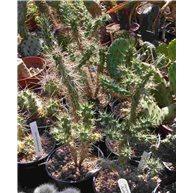Opuntia imbricata Fremont Co. CO 10cm pots