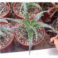 Hechtia sp. Guernavaca