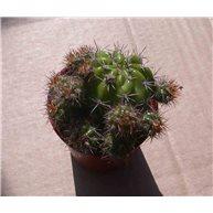 Echinopsis arebaloi