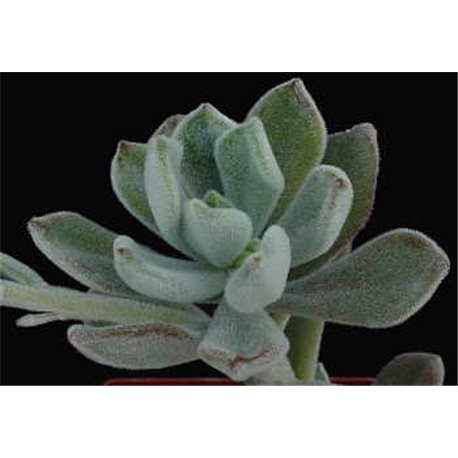 Echeveria pulvinata cv. Frosty