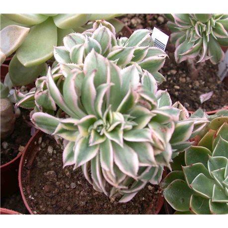 Aeonium Sunburst f. cristata