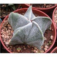 Astrophytum myriostigma 8.5cm pots