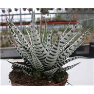 Haworthia fasciata "Alba"