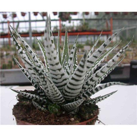 "Haworthia fasciata ""Alba"""